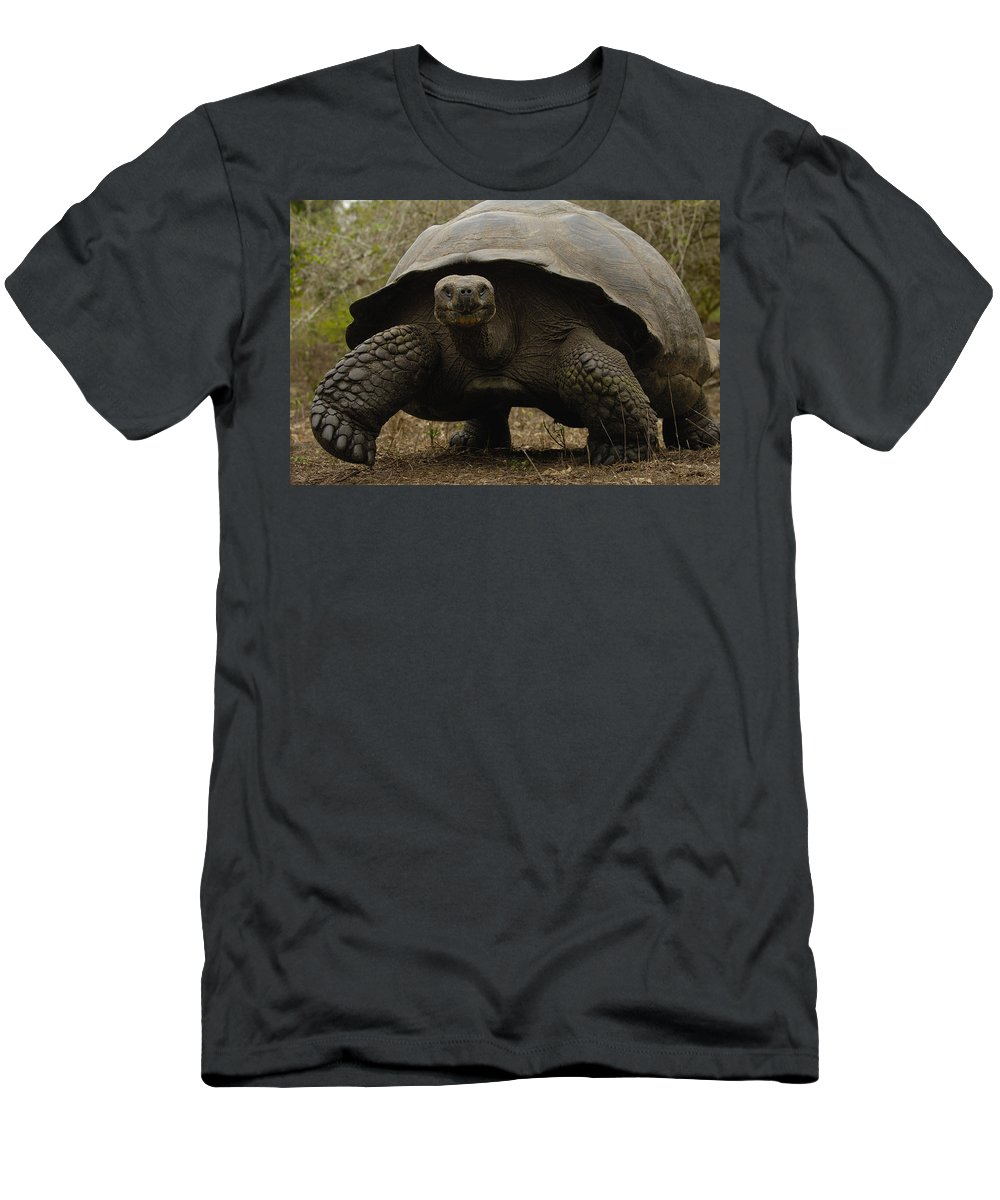 Feb0514 Men's T-Shirt (Athletic Fit) featuring the photograph Indefatigable Island Tortoise Galapagos by Pete Oxford