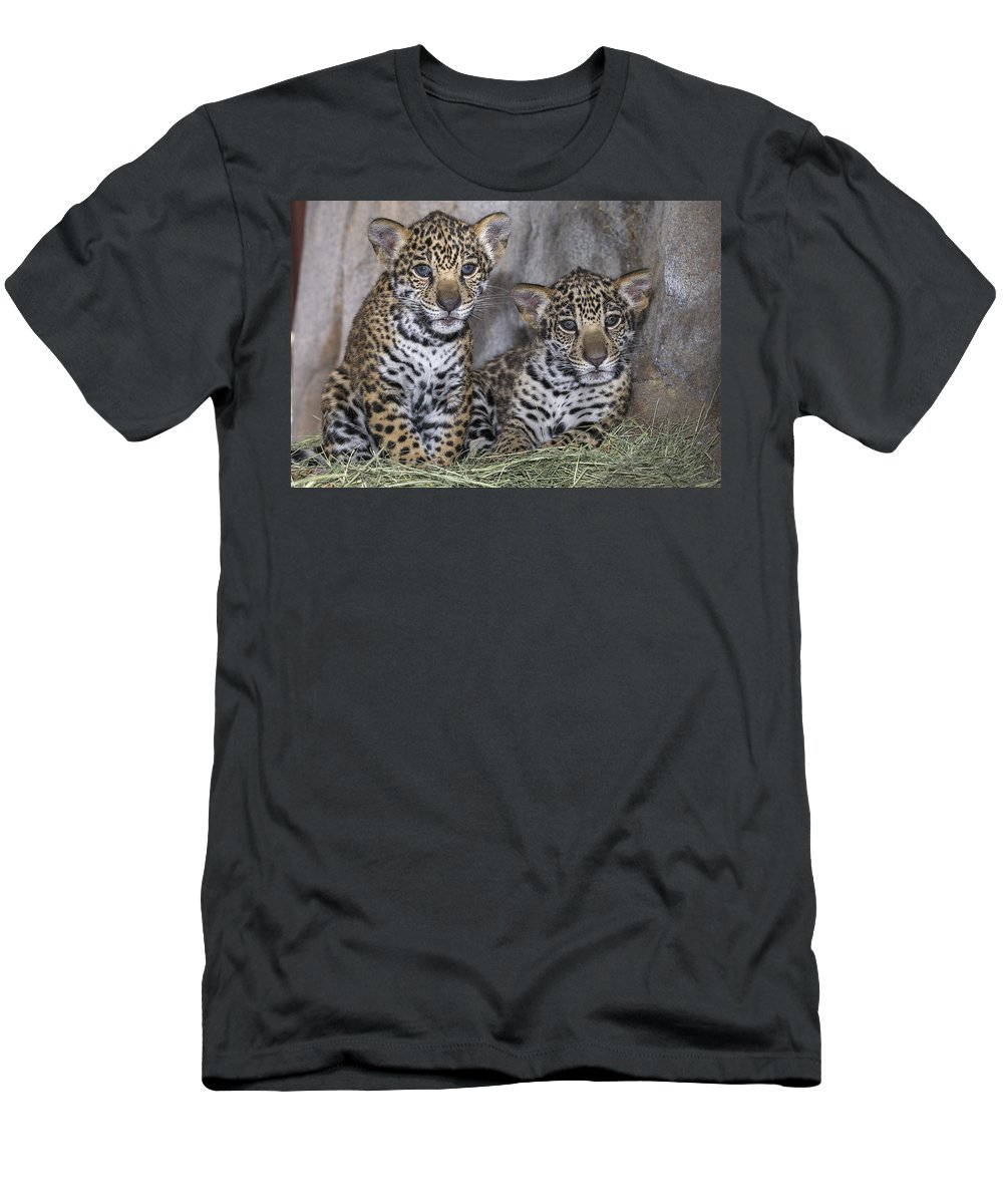 Feb0514 Men's T-Shirt (Athletic Fit) featuring the photograph Jaguar Cubs by San Diego Zoo