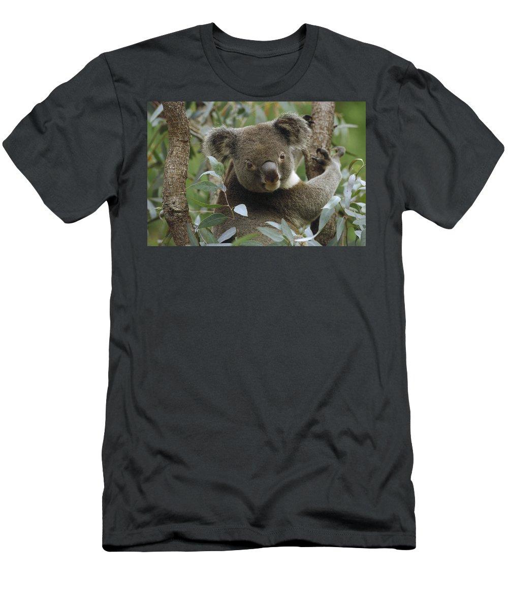 Feb0514 Men's T-Shirt (Athletic Fit) featuring the photograph Koala Male In Eucalyptus Australia by Gerry Ellis