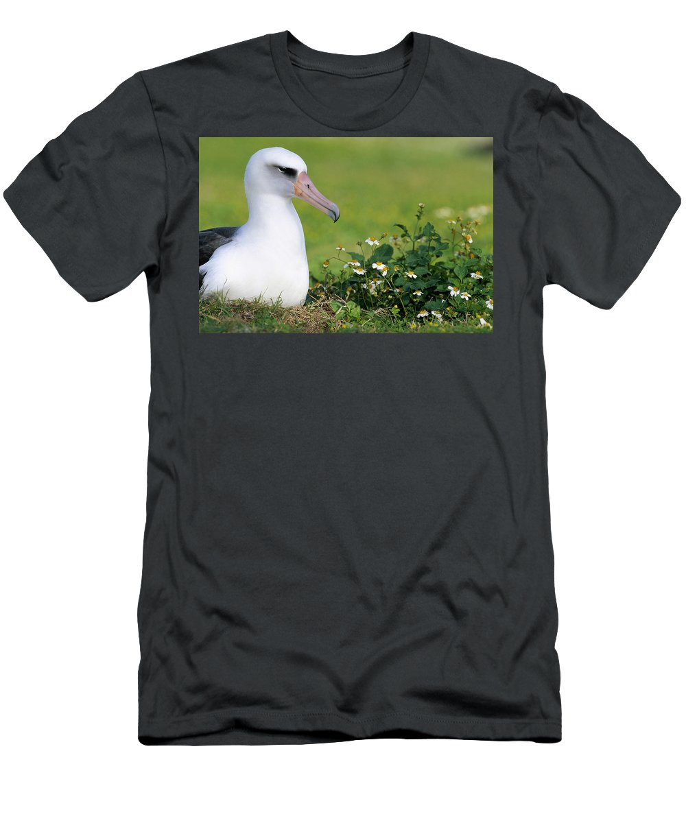 Feb0514 Men's T-Shirt (Athletic Fit) featuring the photograph Laysan Albatross Nesting Hawaii by Tui De Roy