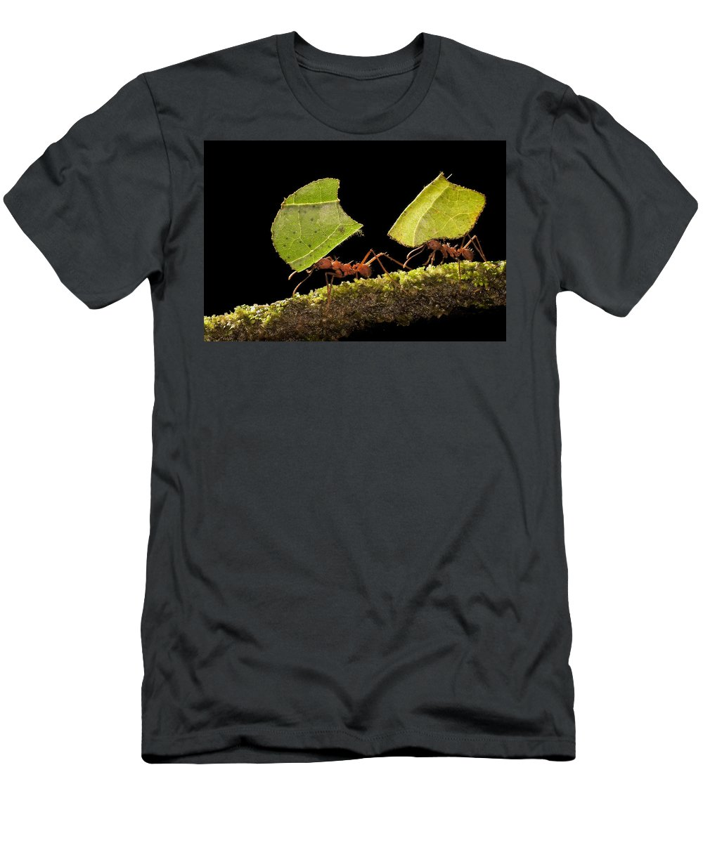 Feb0514 Men's T-Shirt (Athletic Fit) featuring the photograph Leafcutter Ants Carrying Leaves Costa by Ingo Arndt