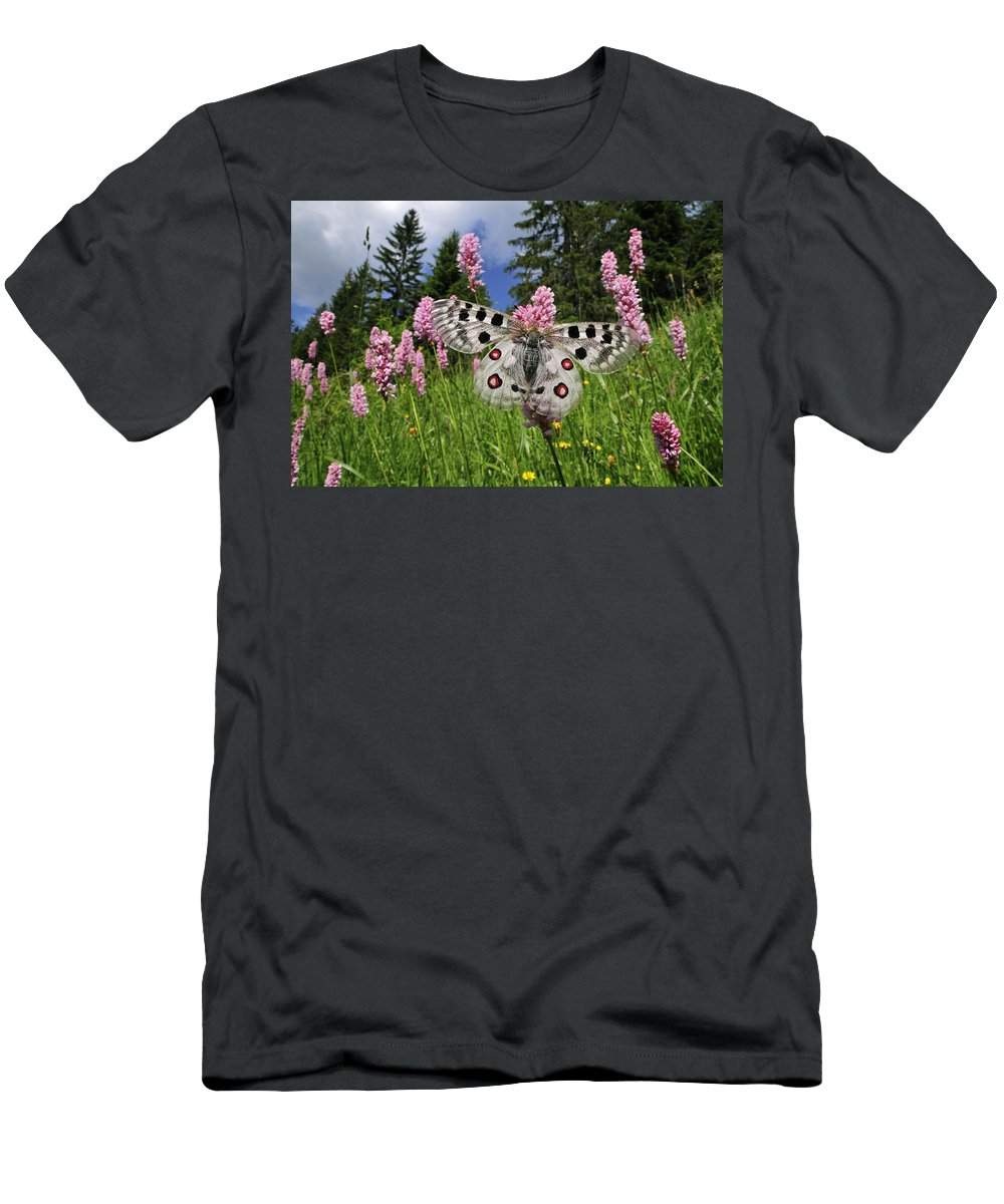 Feb0514 Men's T-Shirt (Athletic Fit) featuring the photograph Mountain Apollo On Common Bistort by Thomas Marent