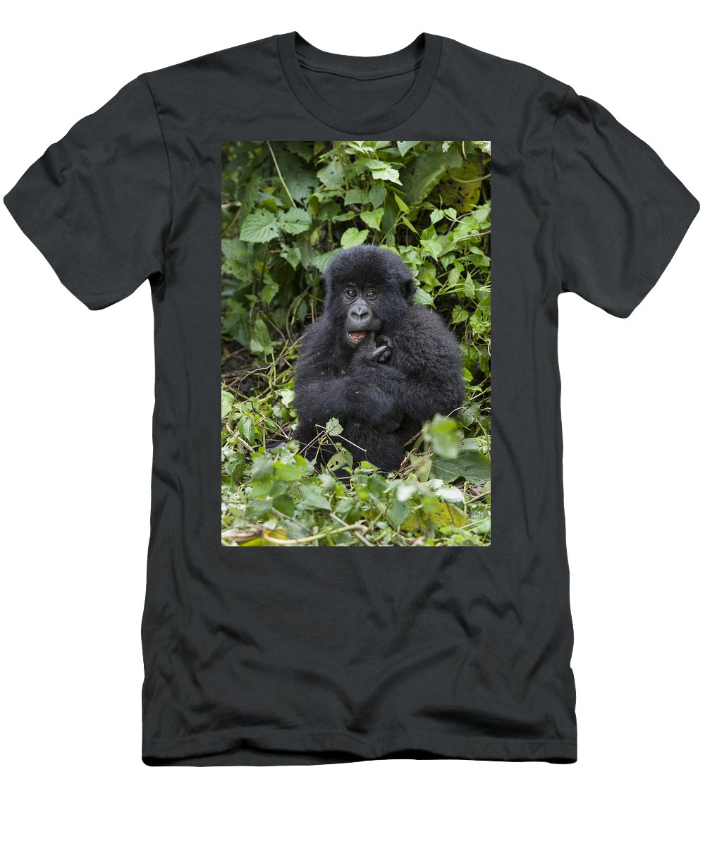 Feb0514 Men's T-Shirt (Athletic Fit) featuring the photograph Mountain Gorilla Baby Chewing On Finger by Suzi Eszterhas