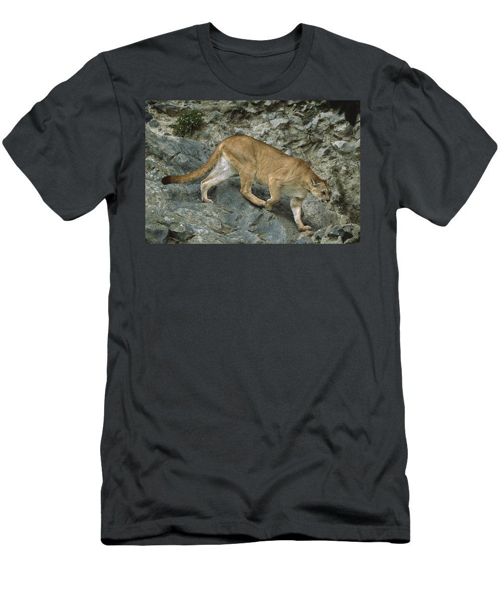 Feb0514 Men's T-Shirt (Athletic Fit) featuring the photograph Mountain Lion Crossing Rocky Terrain by Tui De Roy