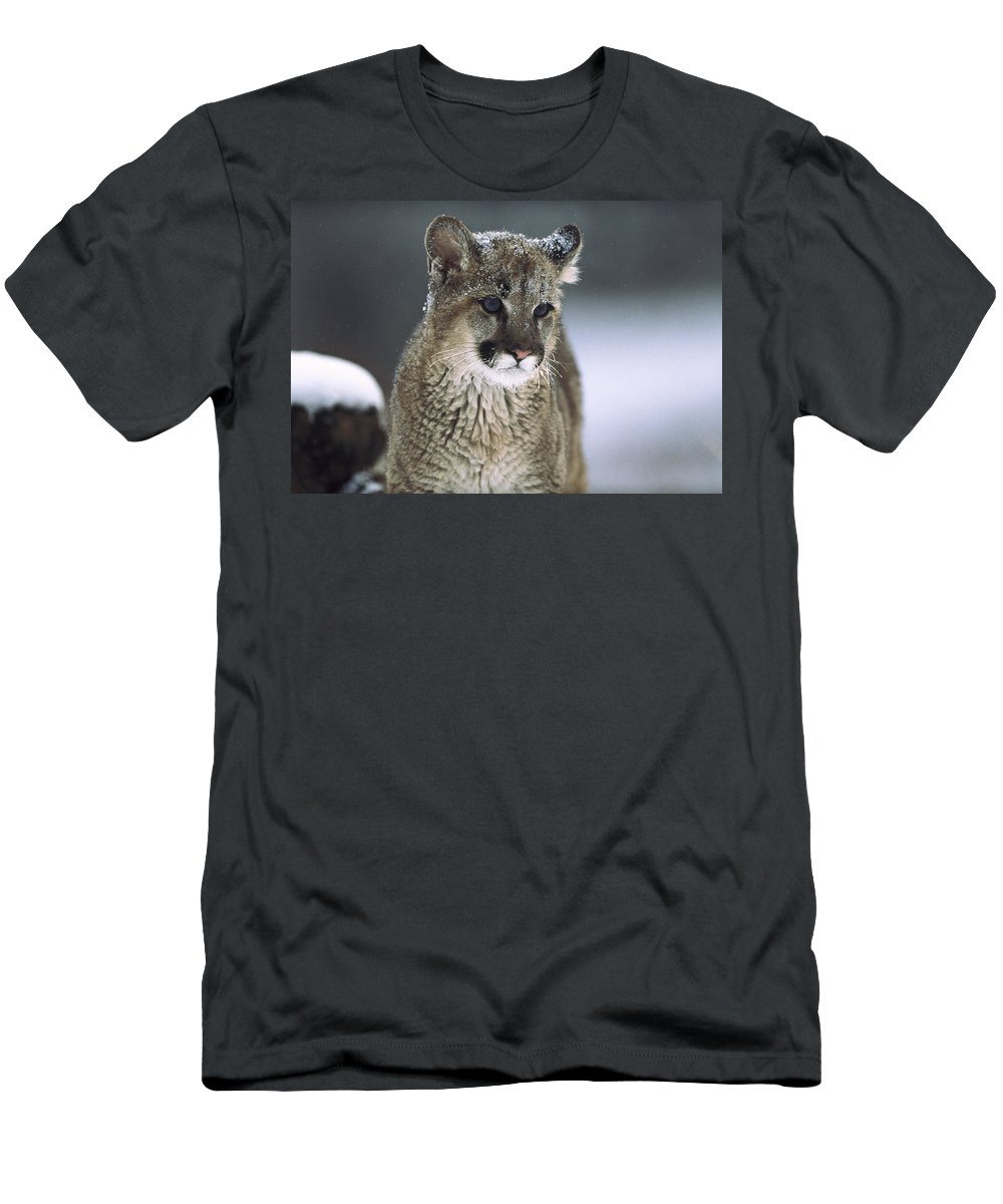 Feb0514 Men's T-Shirt (Athletic Fit) featuring the photograph Mountain Lion Cub In Snow Montana by Tim Fitzharris