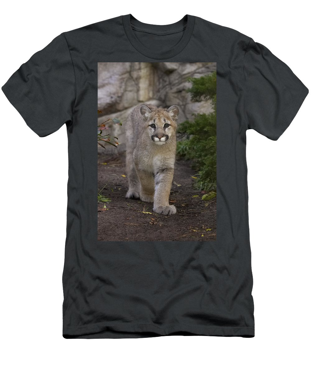 Feb0514 Men's T-Shirt (Athletic Fit) featuring the photograph Mountain Lion Cub Walking by San Diego Zoo