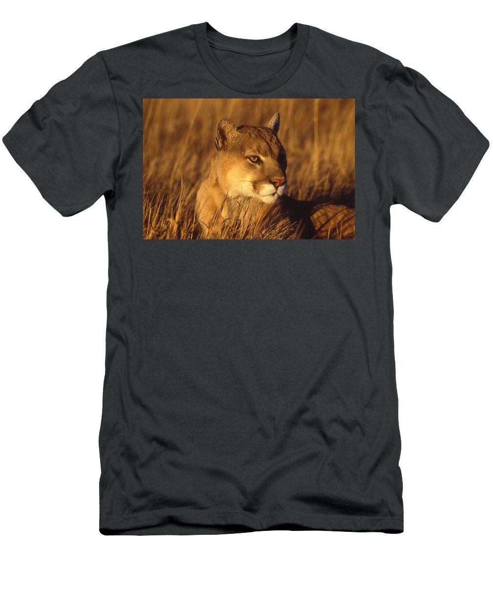 Feb0514 Men's T-Shirt (Athletic Fit) featuring the photograph Mountain Lion Montana by Tom Vezo