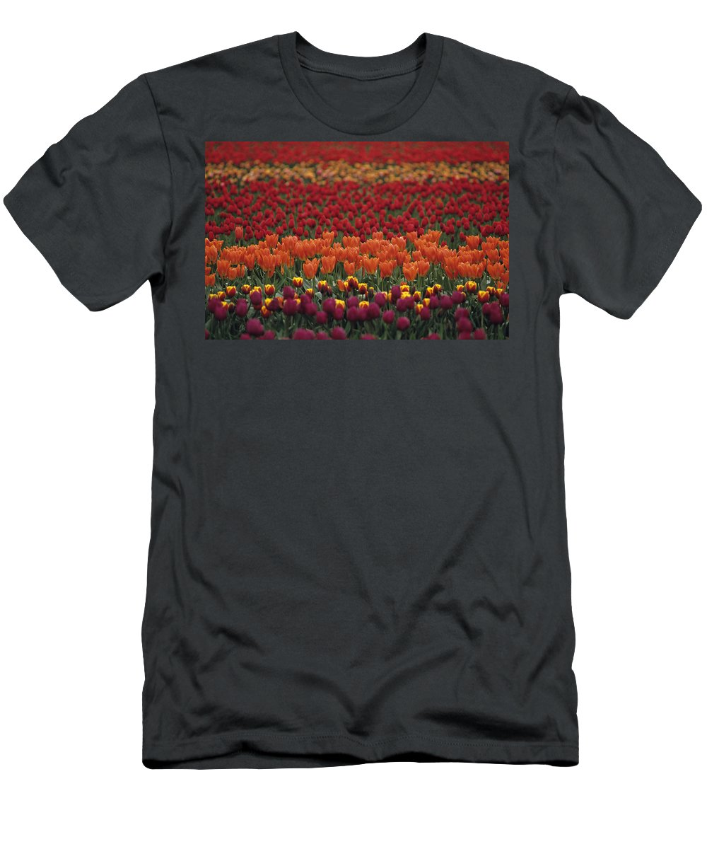 Travel Men's T-Shirt (Athletic Fit) featuring the photograph Multi-colored Tulip Fields by Jim Corwin