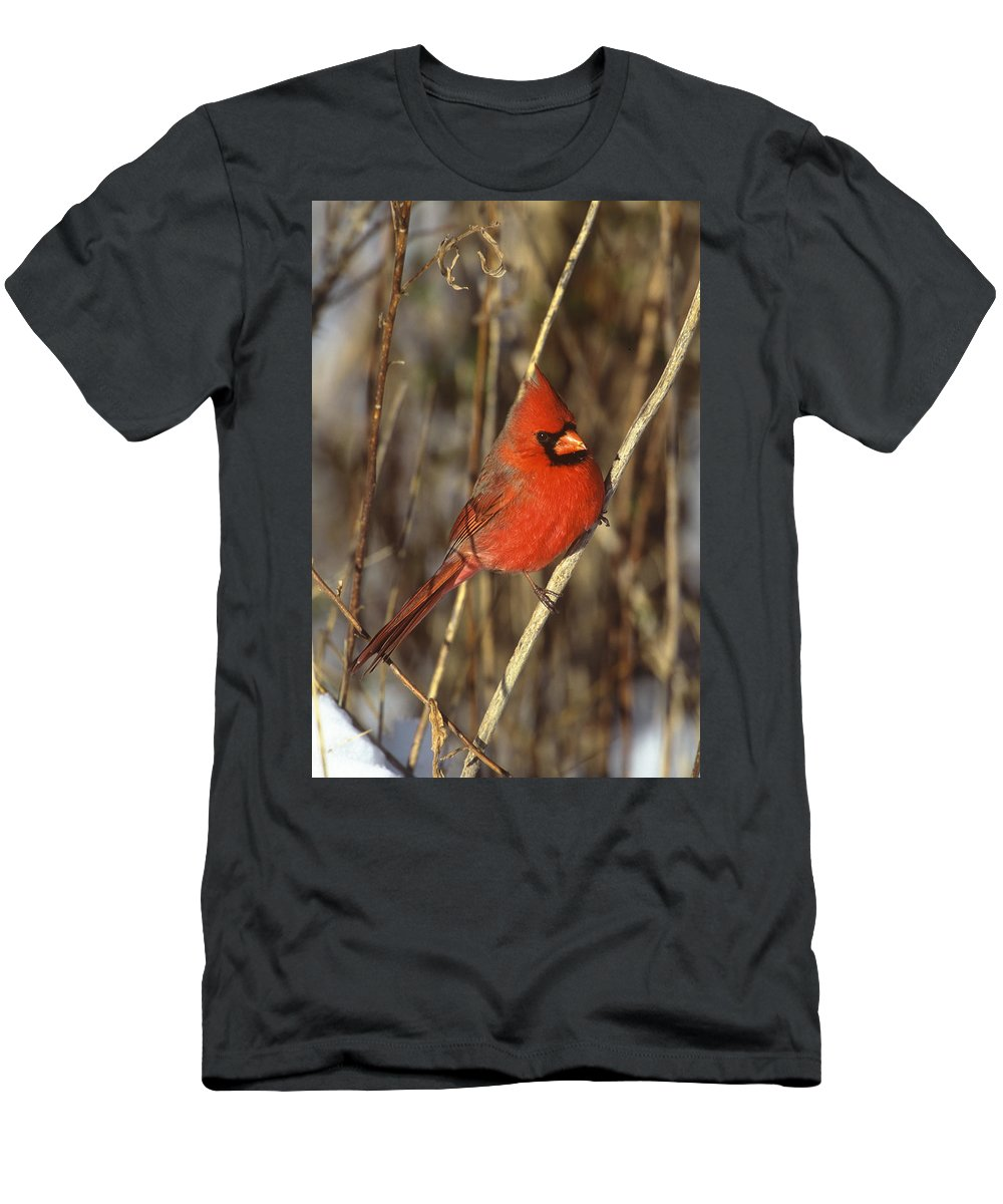 Feb0514 Men's T-Shirt (Athletic Fit) featuring the photograph Northern Cardinal Male Long Island by Tom Vezo