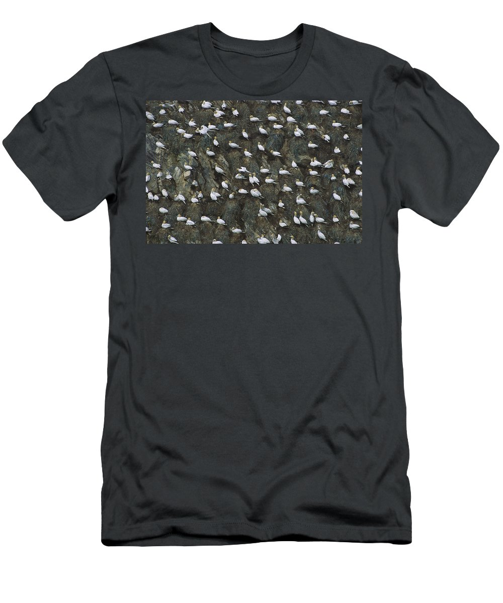 Feb0514 Men's T-Shirt (Athletic Fit) featuring the photograph Northern Gannet Colony Shetland Islands by Tui De Roy