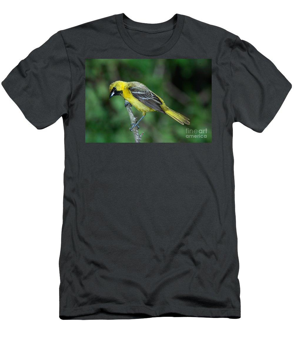 Animal Men's T-Shirt (Athletic Fit) featuring the photograph Orchard Oriole Icterus Spurius Juvenile by Anthony Mercieca