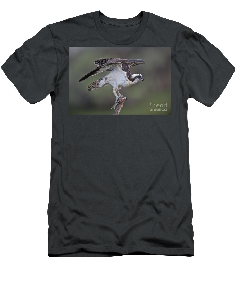 Osprey Men's T-Shirt (Athletic Fit) featuring the photograph Osprey With Fish by Anthony Mercieca