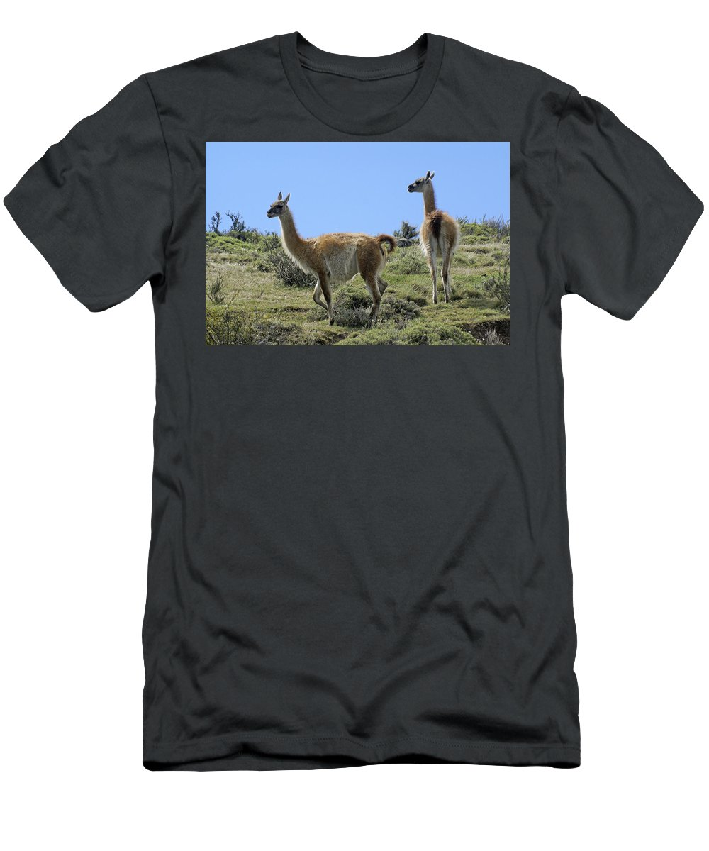 Chile Men's T-Shirt (Athletic Fit) featuring the photograph Patagonian Guanacos by Michele Burgess