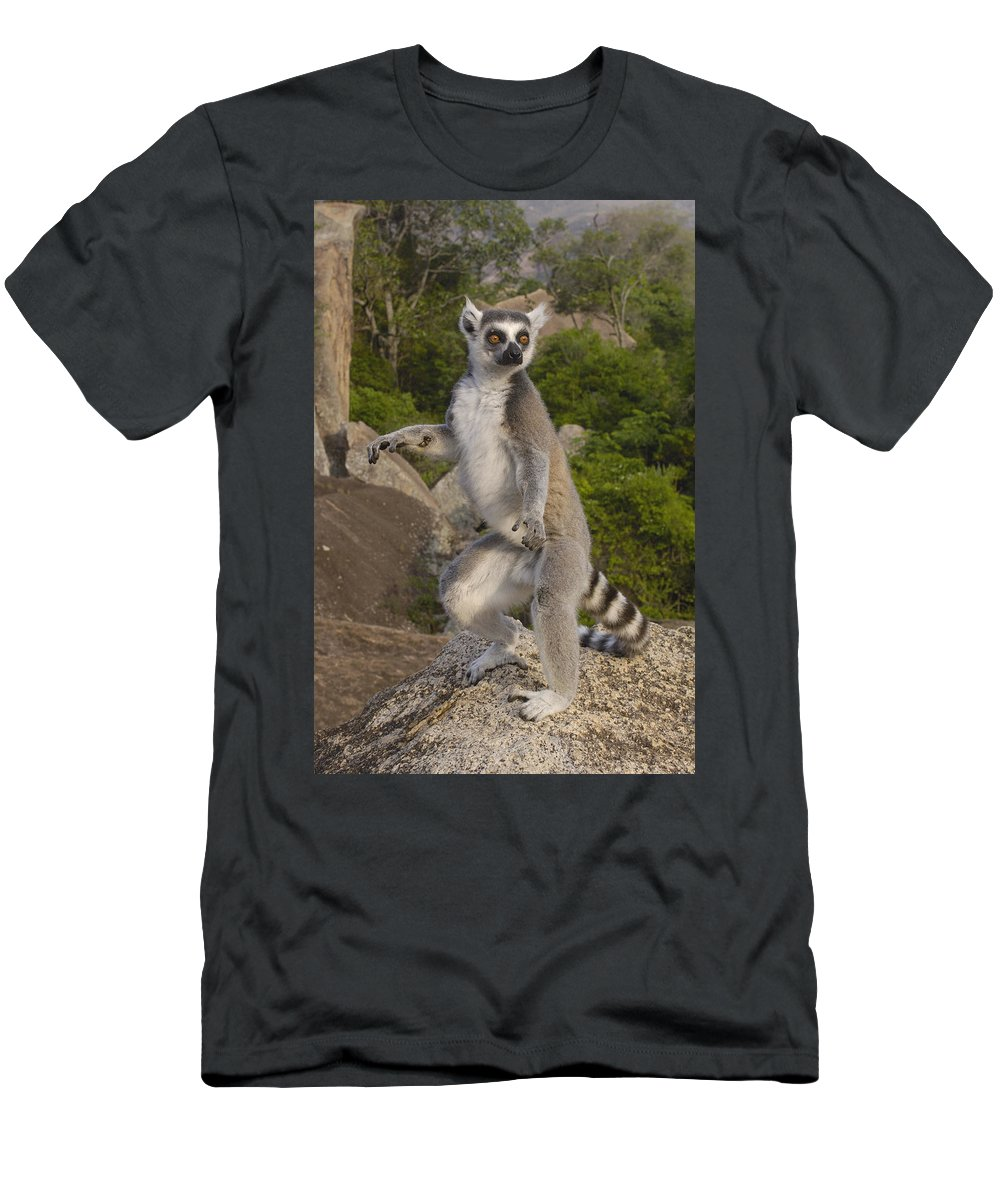 Feb0514 Men's T-Shirt (Athletic Fit) featuring the photograph Ring-tailed Lemur Standing Madagascar by Pete Oxford