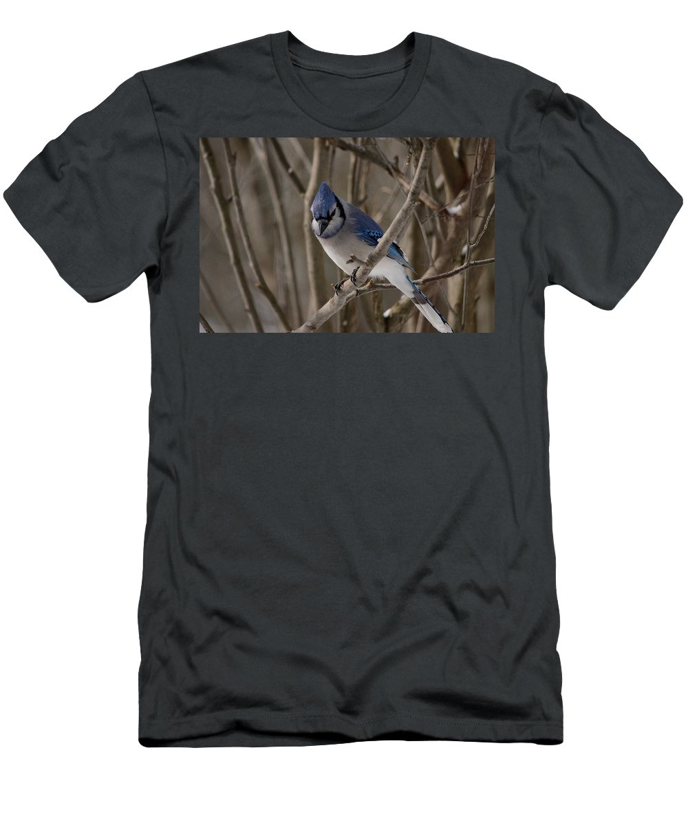Blue Jay Men's T-Shirt (Athletic Fit) featuring the photograph Sitting Pretty by David Porteus