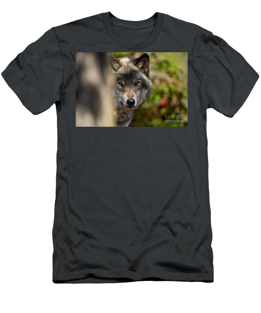 Timber Wolf Men's T-Shirt (Athletic Fit) featuring the photograph Timber Wolf Pictures 1365 by World Wildlife Photography