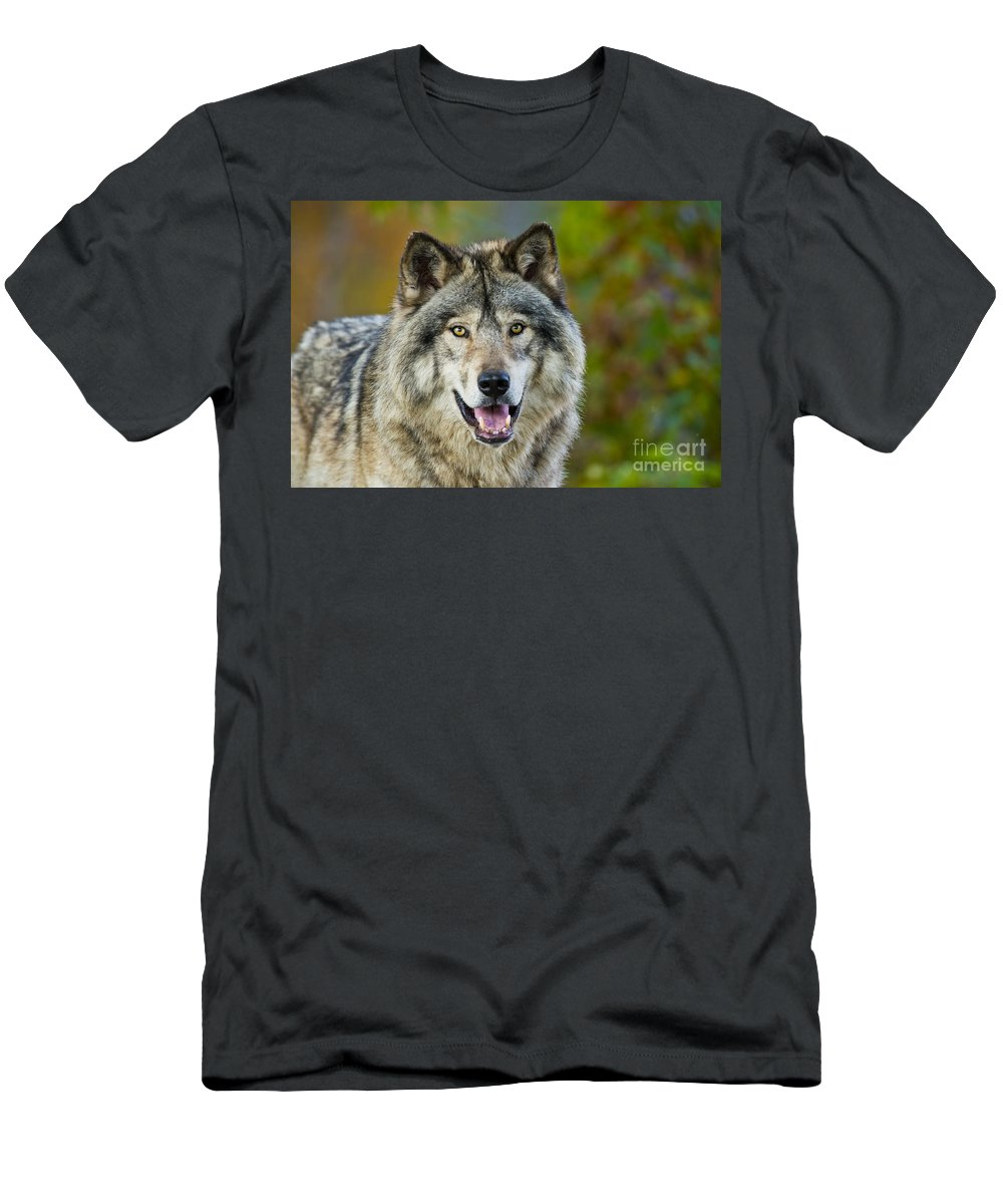 Timber Wolf Men's T-Shirt (Athletic Fit) featuring the photograph Timber Wolf Pictures 1388 by World Wildlife Photography