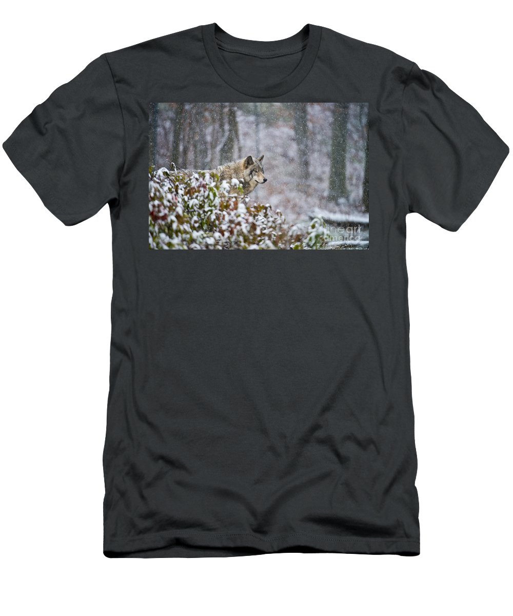 Timber Wolf Men's T-Shirt (Athletic Fit) featuring the photograph Timber Wolf Pictures 1395 by World Wildlife Photography