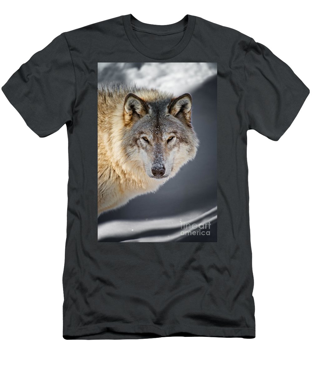 Timber Wolf Men's T-Shirt (Athletic Fit) featuring the photograph Timber Wolf Pictures 260 by Wolves Only