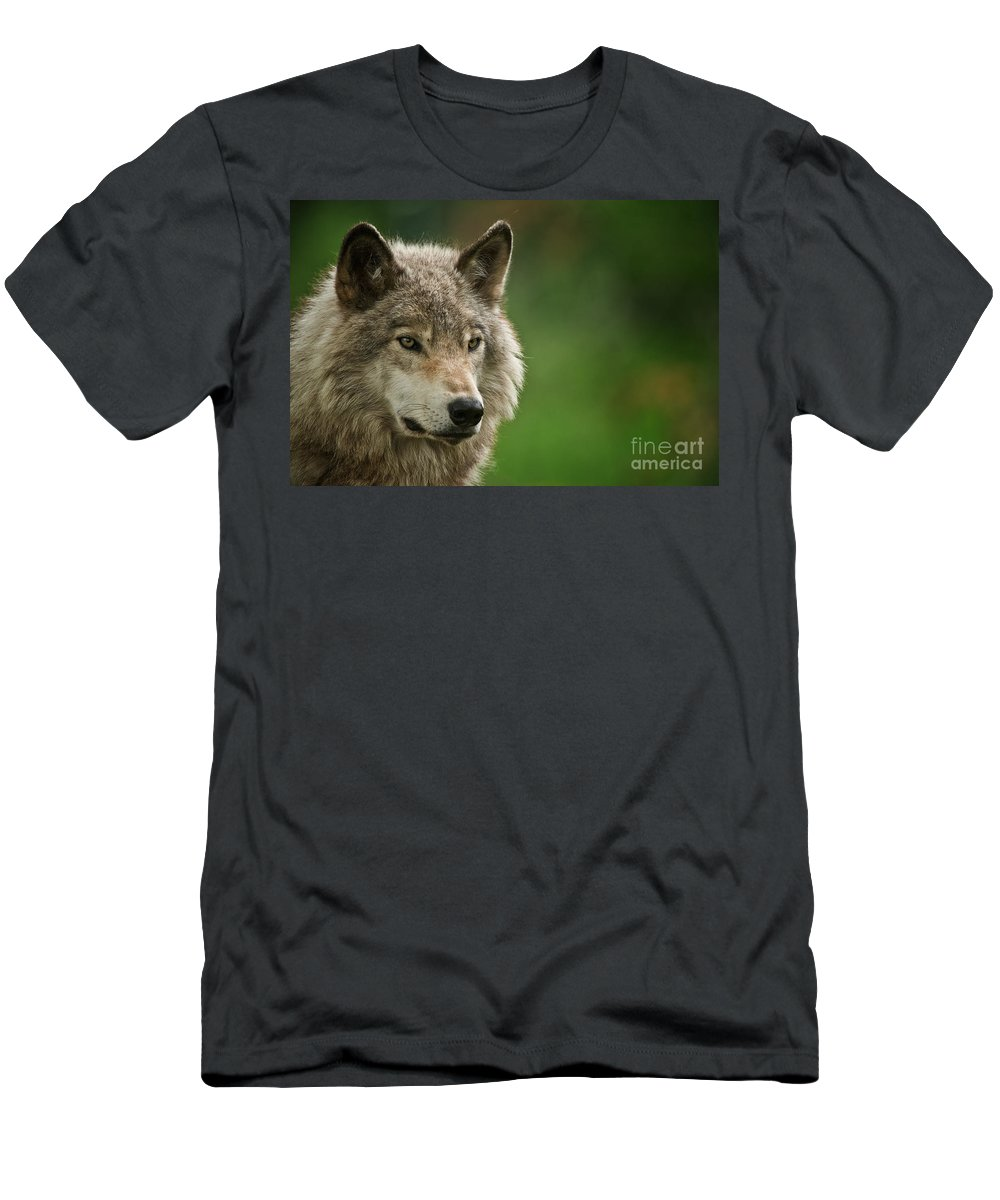 Timber Wolf Men's T-Shirt (Athletic Fit) featuring the photograph Timber Wolf Pictures 261 by Wolves Only