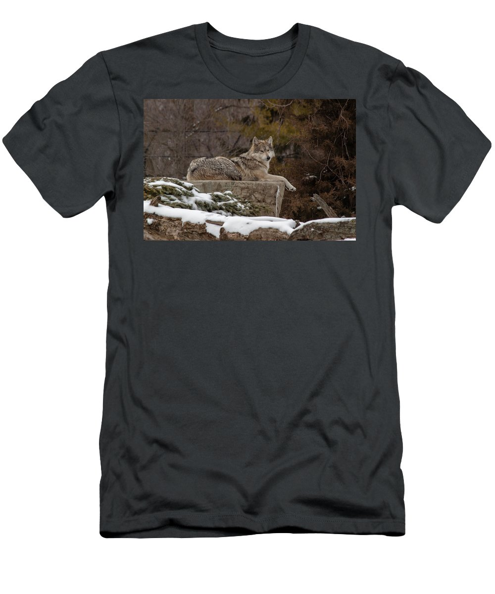 Female Wolves Men's T-Shirt (Athletic Fit) featuring the photograph Who Me by Thomas Sellberg