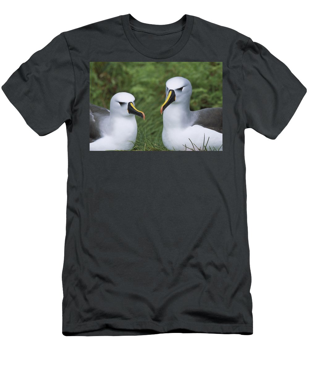 Feb0514 Men's T-Shirt (Athletic Fit) featuring the photograph Yellow-nosed Albatross Pair Gough Island by Tui De Roy