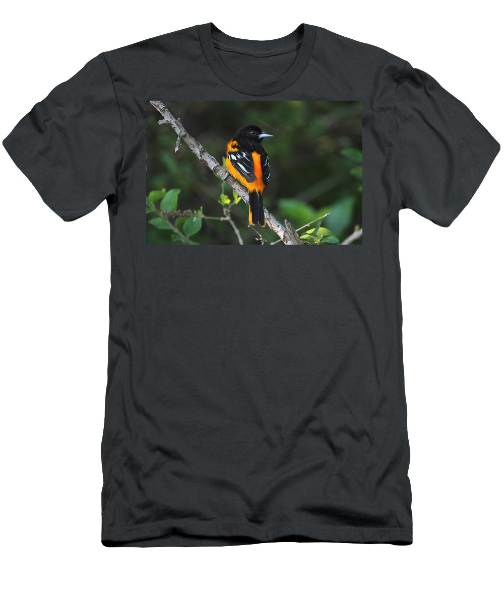 Doug Lloyd Men's T-Shirt (Athletic Fit) featuring the photograph Baltimore Oriole by Doug Lloyd