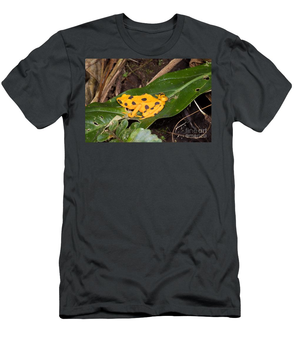 Nature Men's T-Shirt (Athletic Fit) featuring the photograph Harlequin Toad by Dante Fenolio