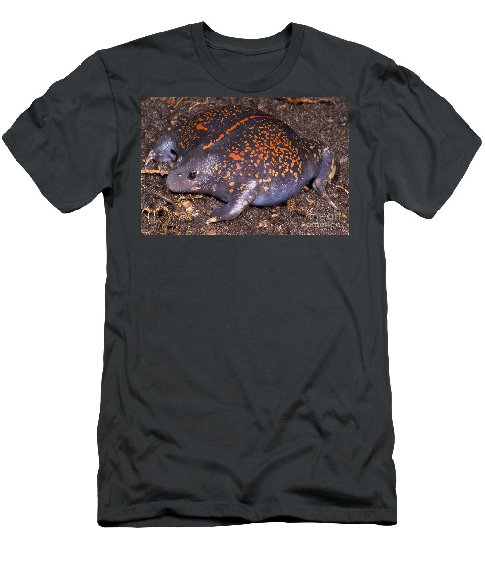 Rhinophrynidae Men's T-Shirt (Athletic Fit) featuring the photograph Mexican Burrowing Toad by Dante Fenolio