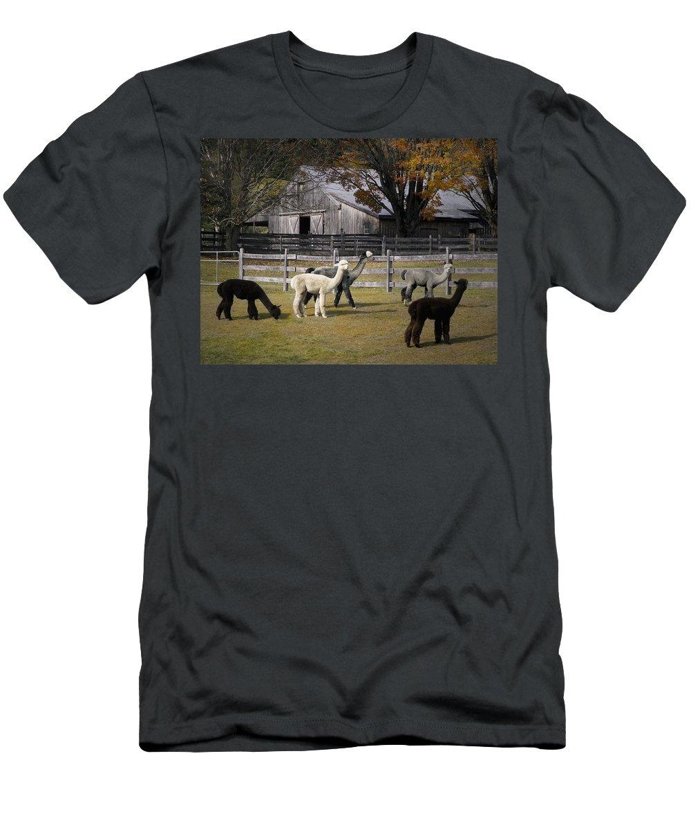 Alpacas Men's T-Shirt (Athletic Fit) featuring the photograph Alpacas In Vermont by Nancy Griswold