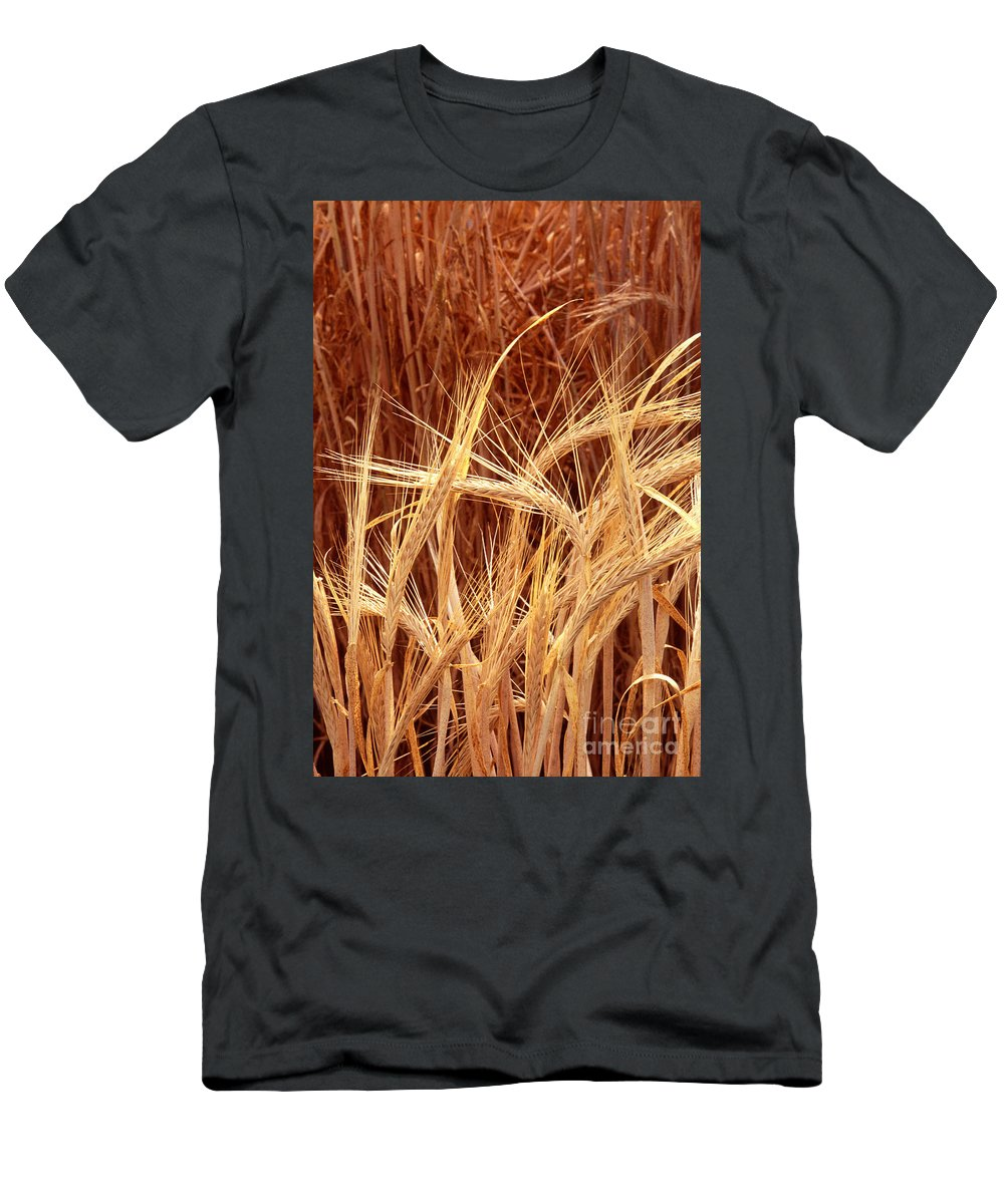 Bioengineered Barley Men's T-Shirt (Athletic Fit) featuring the photograph Bioengineered Barley by Science Source