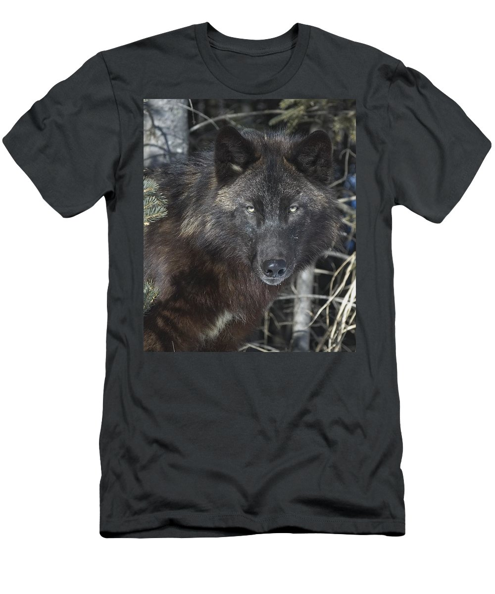Animal Men's T-Shirt (Athletic Fit) featuring the photograph Black Timber Wolf by John Pitcher