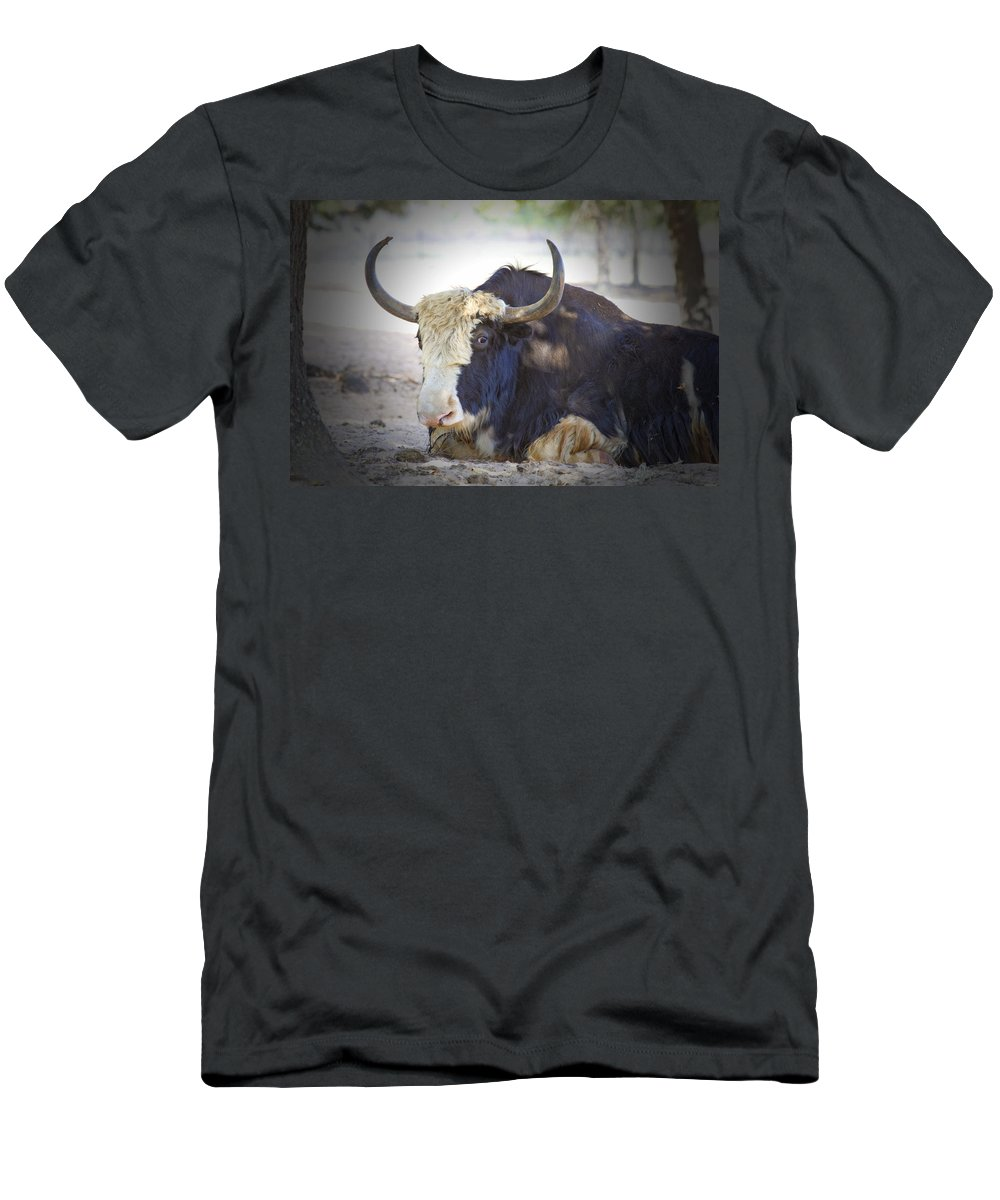 Cattle Men's T-Shirt (Athletic Fit) featuring the photograph Resting by Douglas Barnard