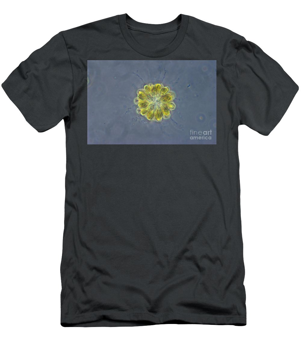 Science Men's T-Shirt (Athletic Fit) featuring the photograph Synura Algae, Lm by M. I. Walker