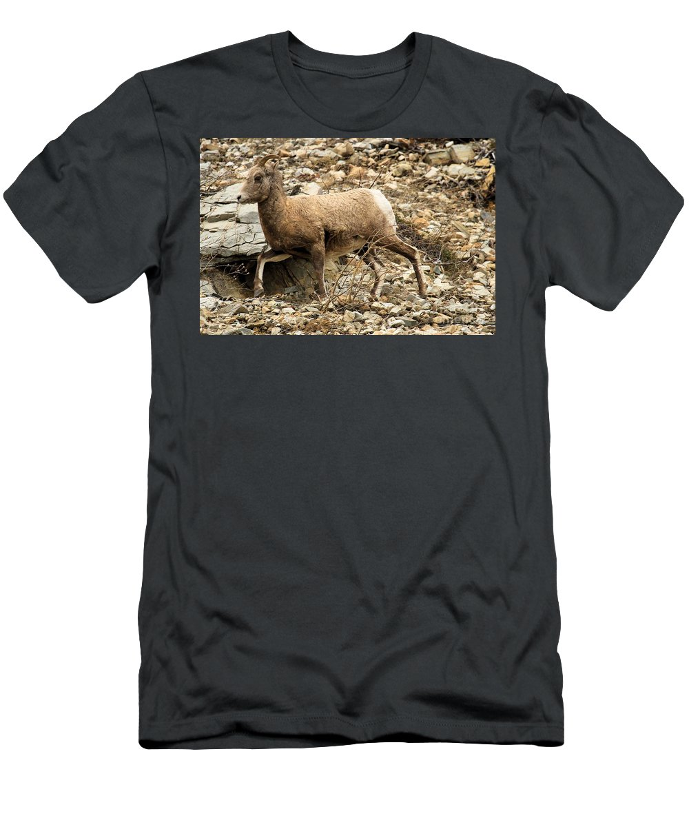Big Horn Sheep Men's T-Shirt (Athletic Fit) featuring the photograph The Morning Run by Adam Jewell
