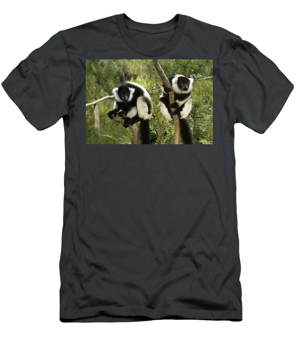 Madagascar Men's T-Shirt (Athletic Fit) featuring the photograph Black And White Ruffed Lemur by Michele Burgess