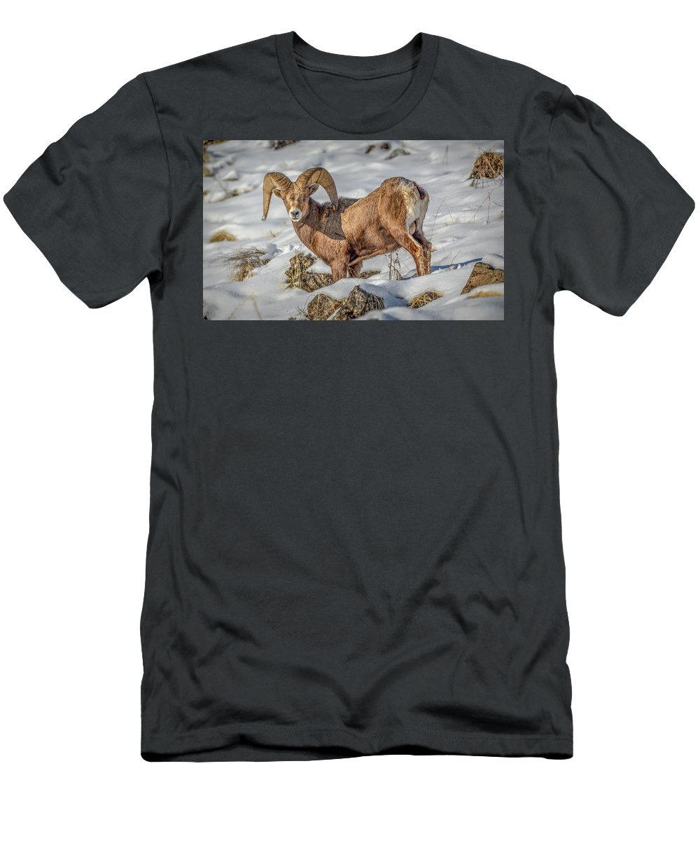 Bighorn Ram T-Shirt featuring the photograph Bighorn in the snow by Jason Brooks