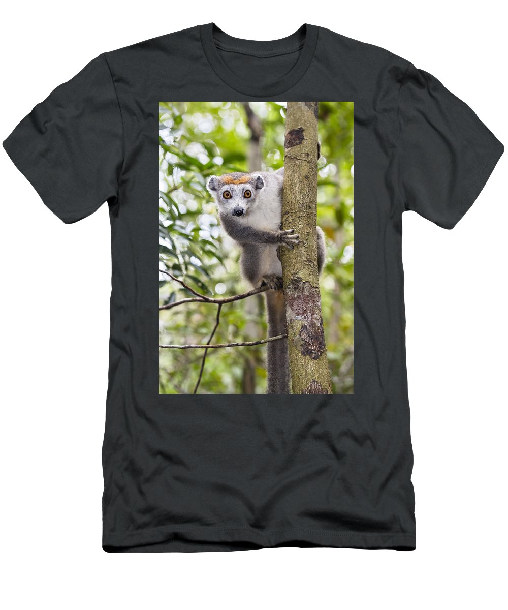 00517480 Men's T-Shirt (Athletic Fit) featuring the photograph Crowned Lemur Madagascar by Konrad Wothe