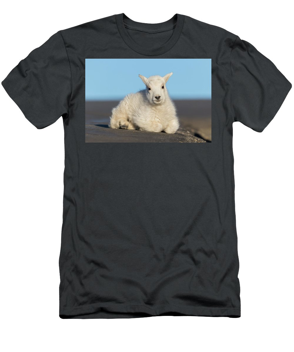 Mountain Goat Men's T-Shirt (Athletic Fit) featuring the photograph Mountain Goat Kid Relaxes In The Road by Tony Hake