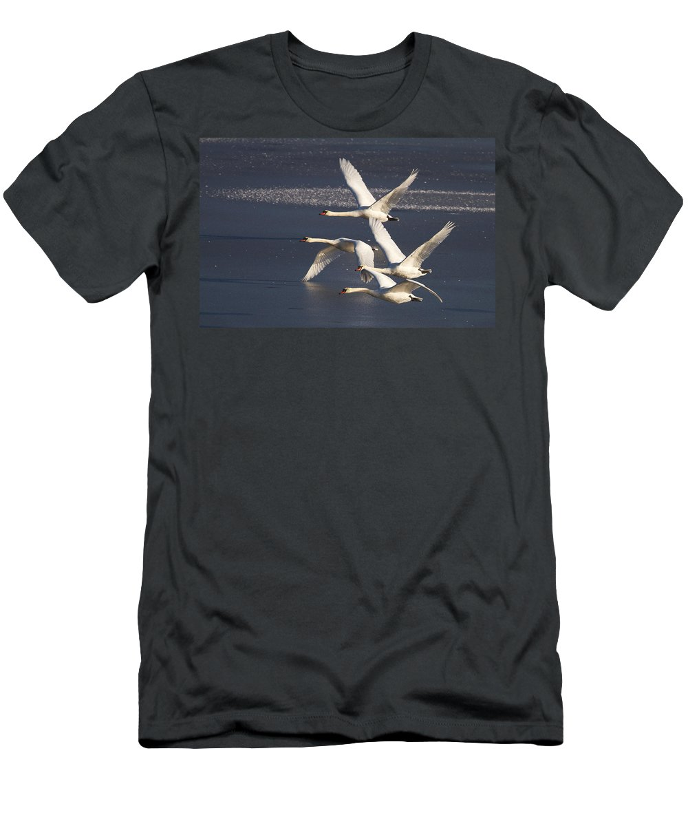 Swans Men's T-Shirt (Athletic Fit) featuring the photograph Mute Swans In Flight by Bob Kemp