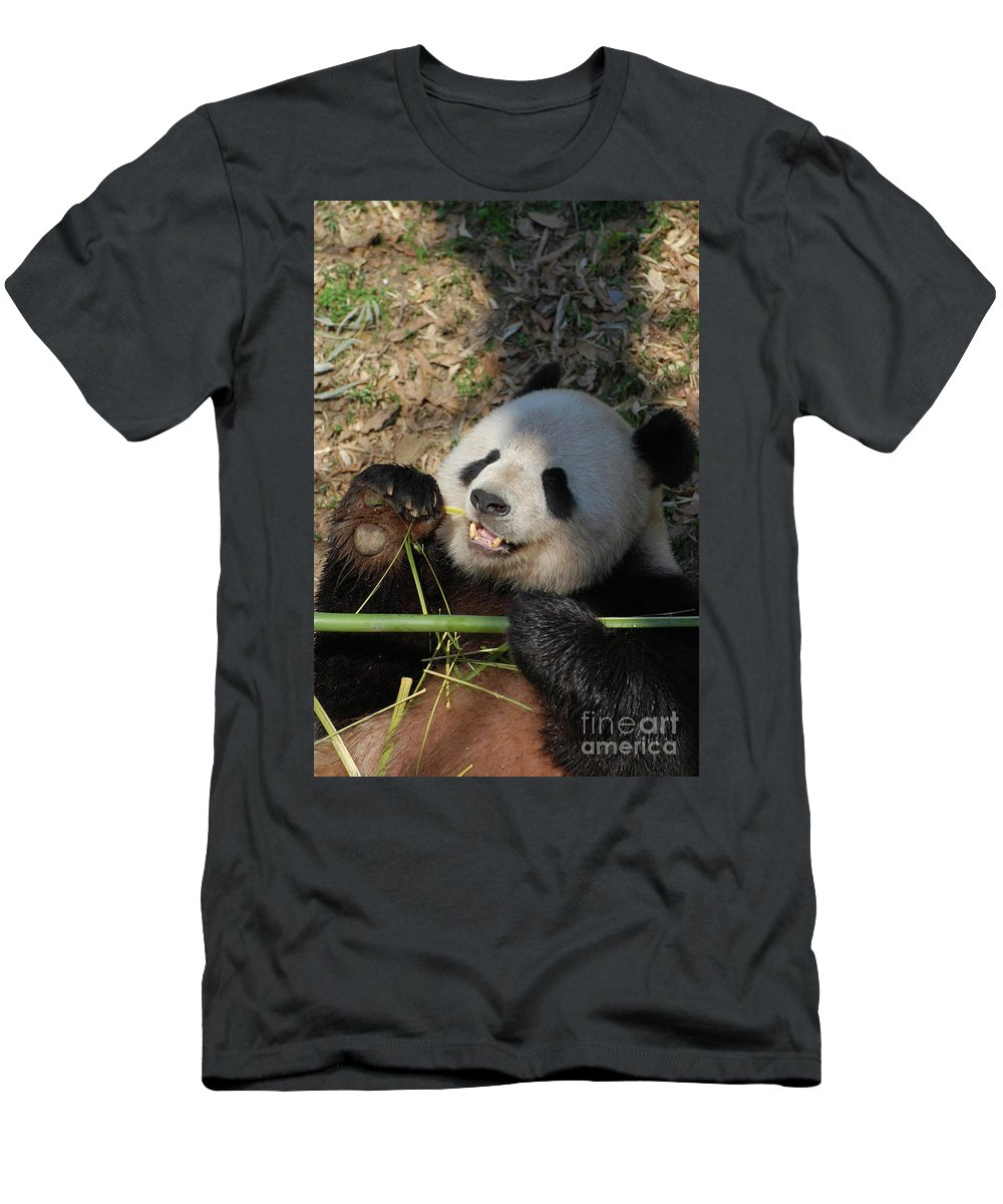 Panda Men's T-Shirt (Athletic Fit) featuring the photograph Panda Bear Laying On His Back And Eating Bamboo by DejaVu Designs