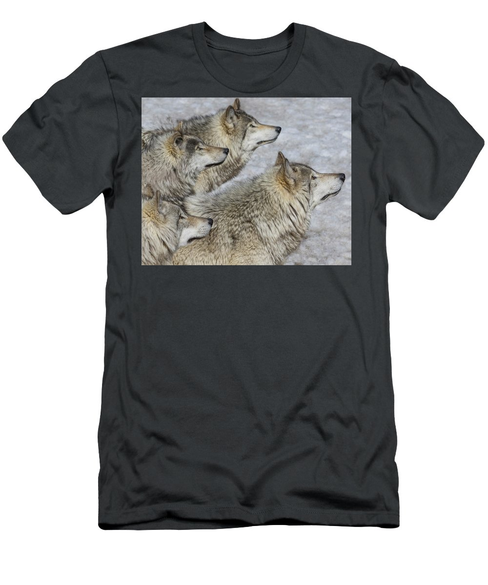 Wolf Men's T-Shirt (Athletic Fit) featuring the photograph Priority by Tony Beck