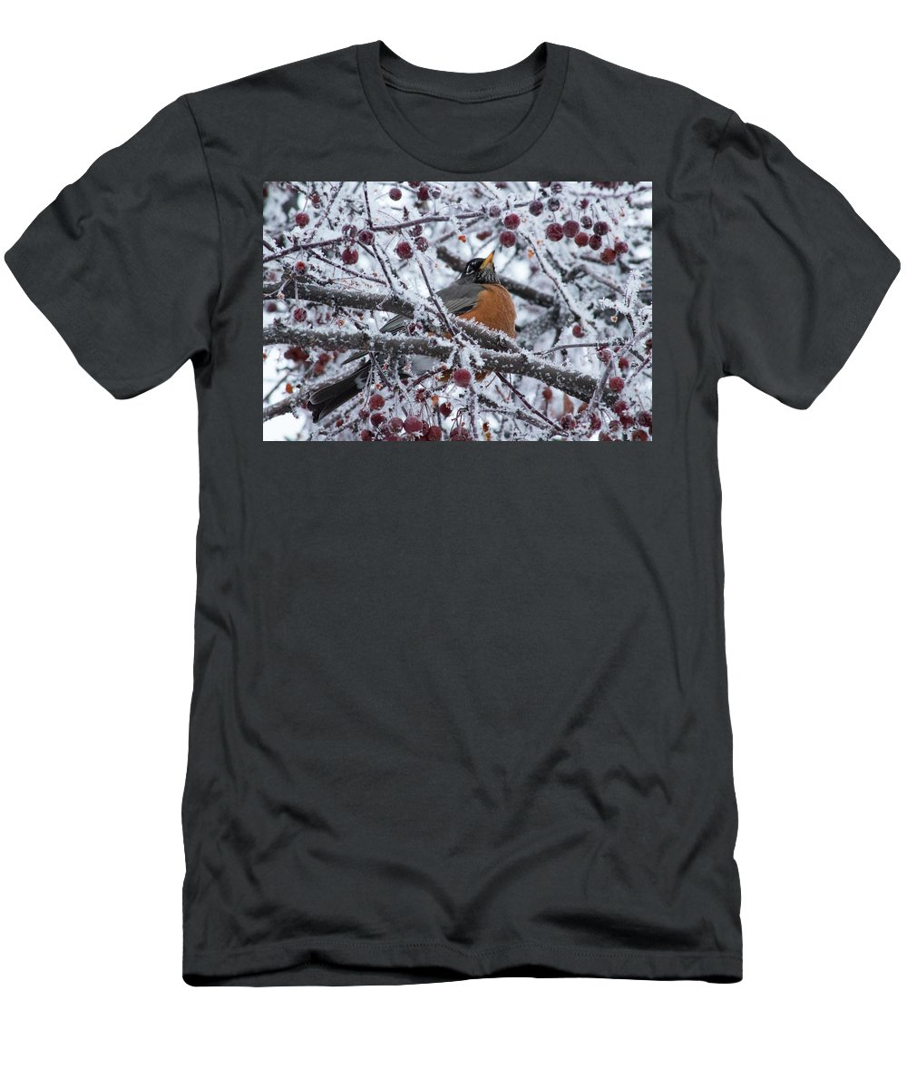 Branch Men's T-Shirt (Athletic Fit) featuring the photograph Robin Perched In Crabapple Tree by Travers Morgan