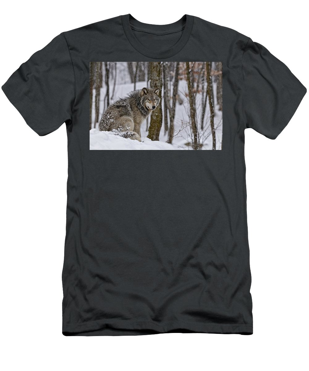 Michael Cummings Men's T-Shirt (Athletic Fit) featuring the photograph Timber Wolf In Winter by Michael Cummings