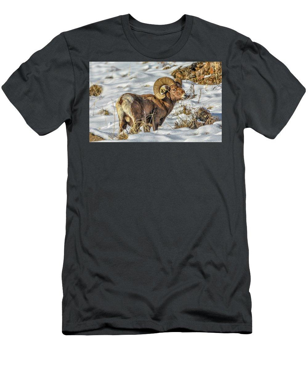 Bighorn Ram T-Shirt featuring the photograph Wintering Bighorn by Jason Brooks