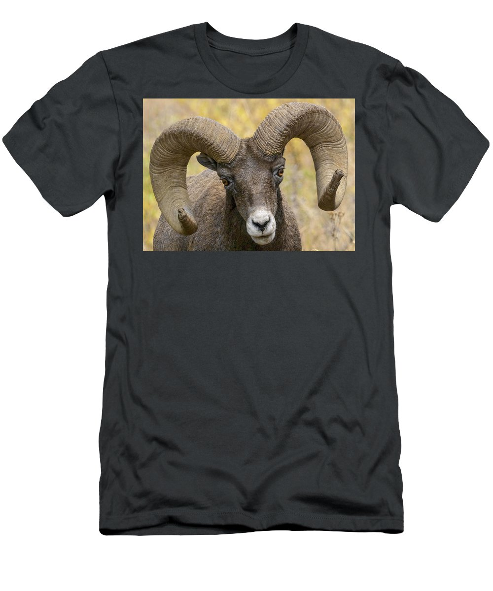 Yellowstone Ram Men's T-Shirt (Athletic Fit) featuring the photograph Yellowstone Ram by Wes and Dotty Weber