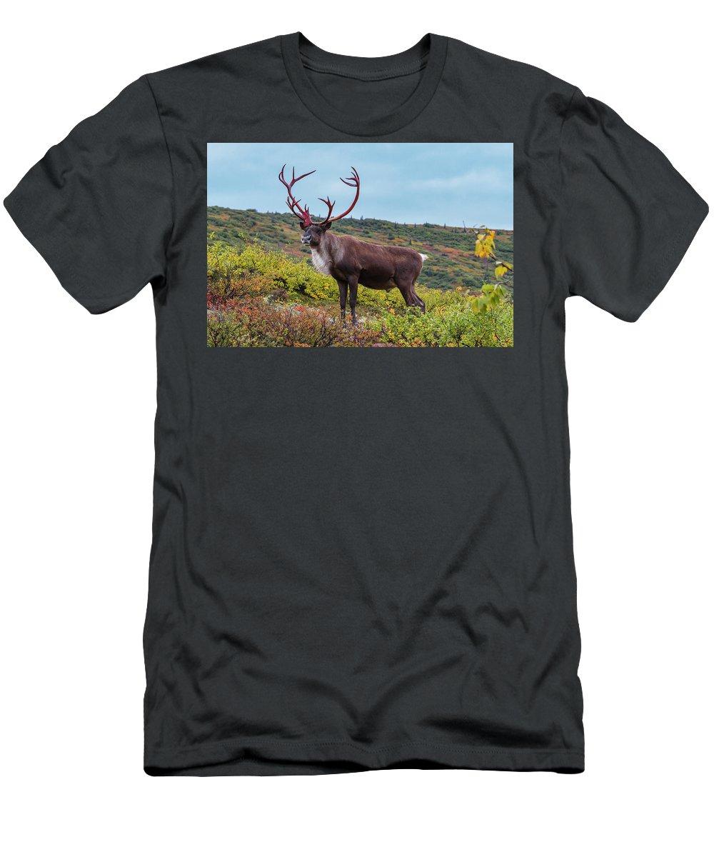 Alaska Men's T-Shirt (Athletic Fit) featuring the photograph Alaska Caribou In Denali National Park by Scott Slone