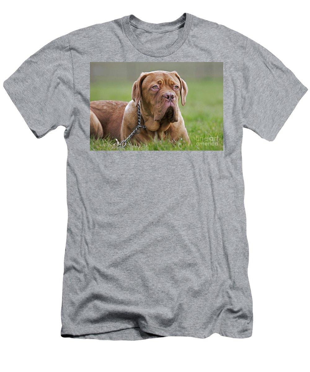 Dogue De Bordeaux Men's T-Shirt (Athletic Fit) featuring the photograph 130318p081 by Arterra Picture Library