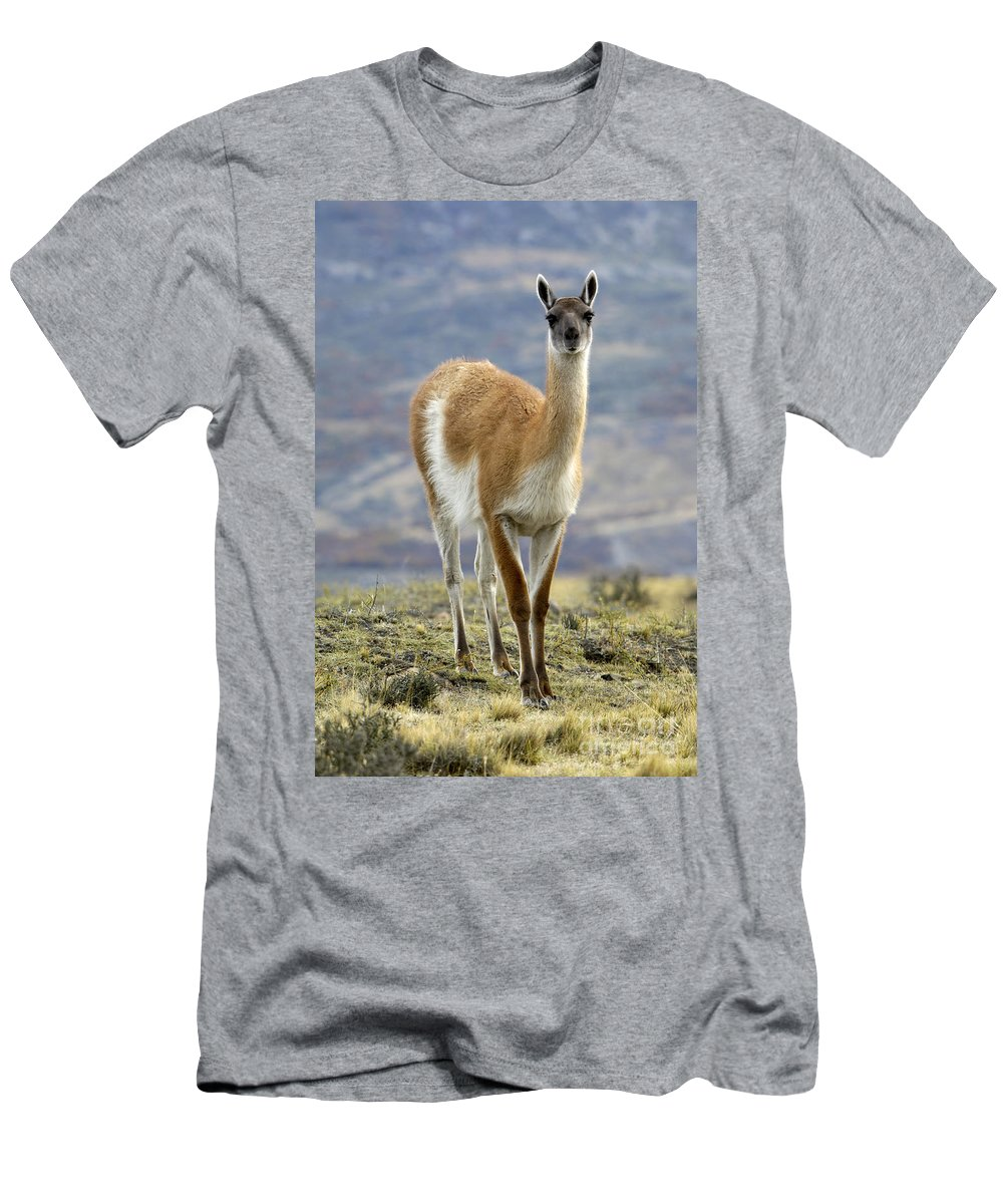 Guanaco Men's T-Shirt (Athletic Fit) featuring the photograph Guanaco by John Shaw