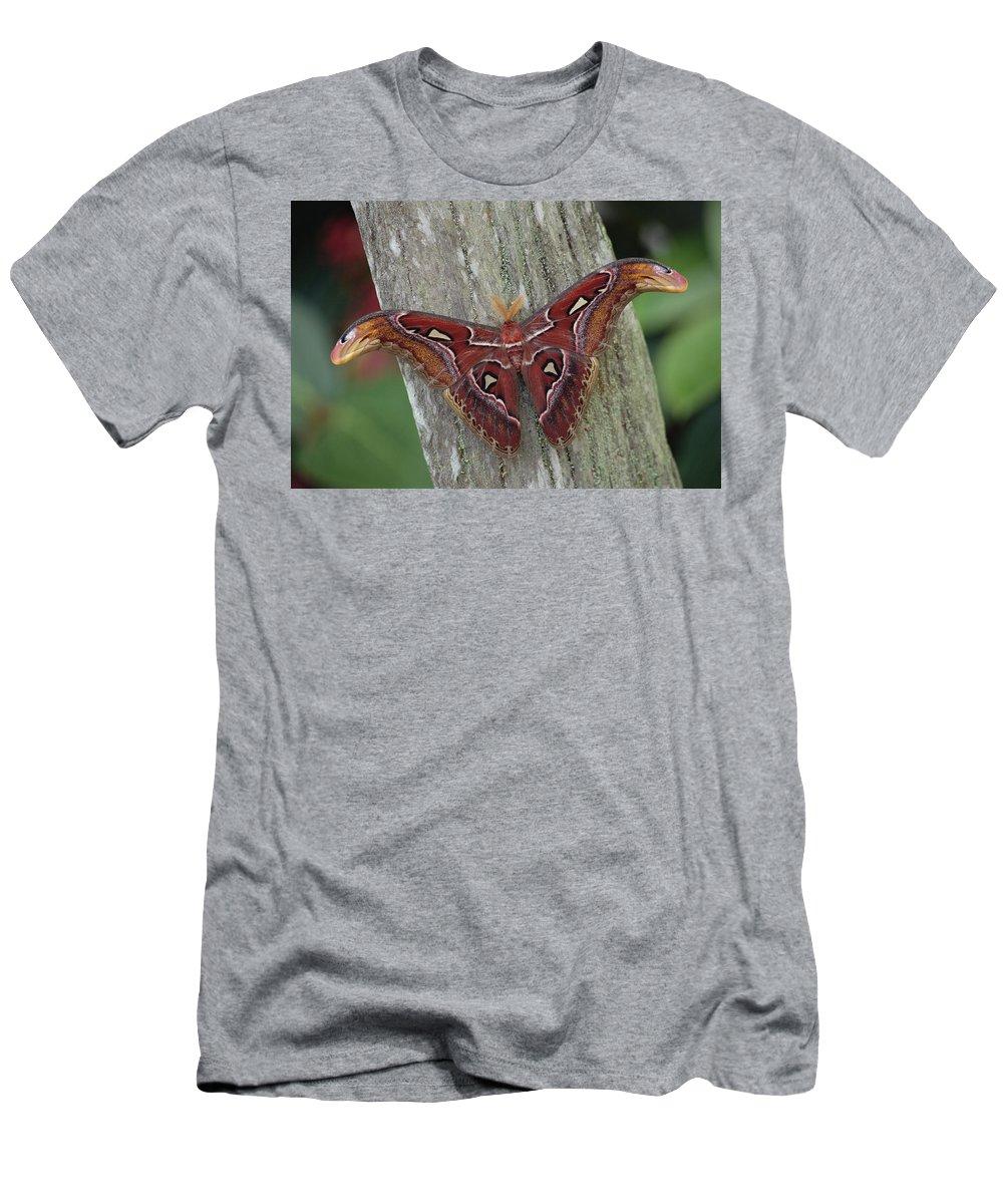 Feb0514 Men's T-Shirt (Athletic Fit) featuring the photograph Atlas Moth Portrait Asia by Gerry Ellis